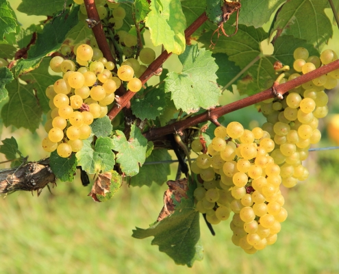 Chardonnay Grapes at Hickory Hill