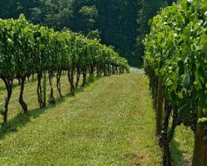 Hickory Hill Vineyard row