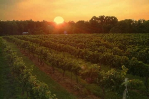 The Setting sun over Hickory Hill Vineyards