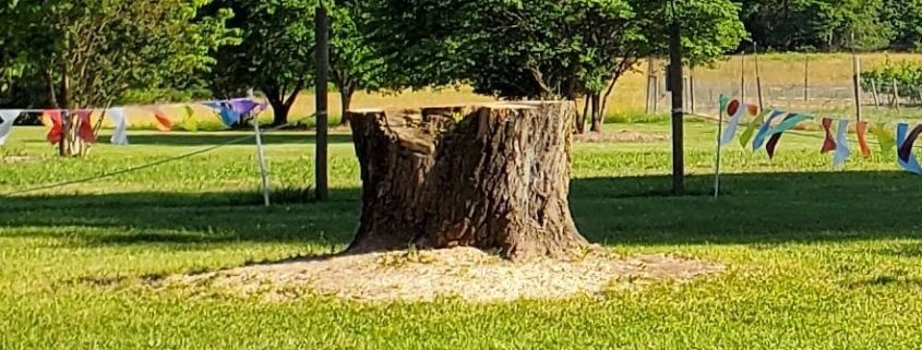 Box Elder Tree Stump